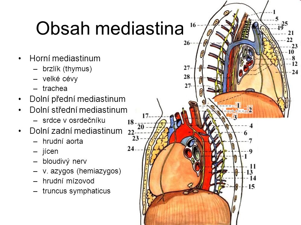 Obsah mediastina Horní mediastinum Dolní přední mediastinum