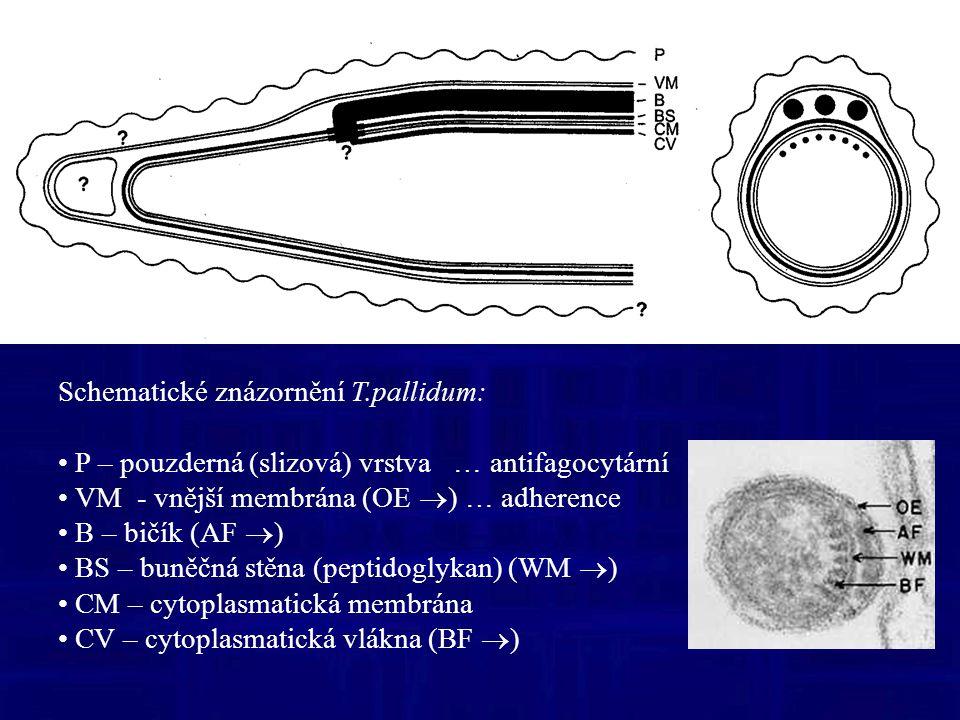 Schematické znázornění T.pallidum: