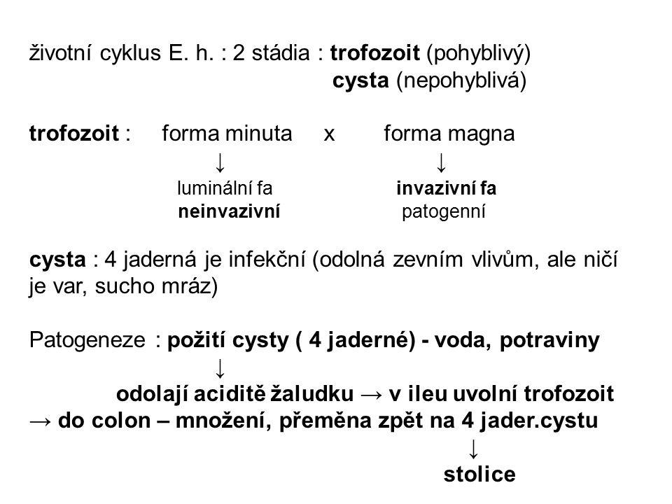 životní cyklus E. h. : 2 stádia : trofozoit (pohyblivý)