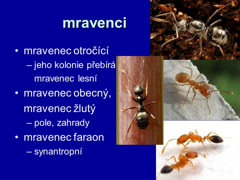 mravenci mravenec otročící mravenec obecný, mravenec žlutý