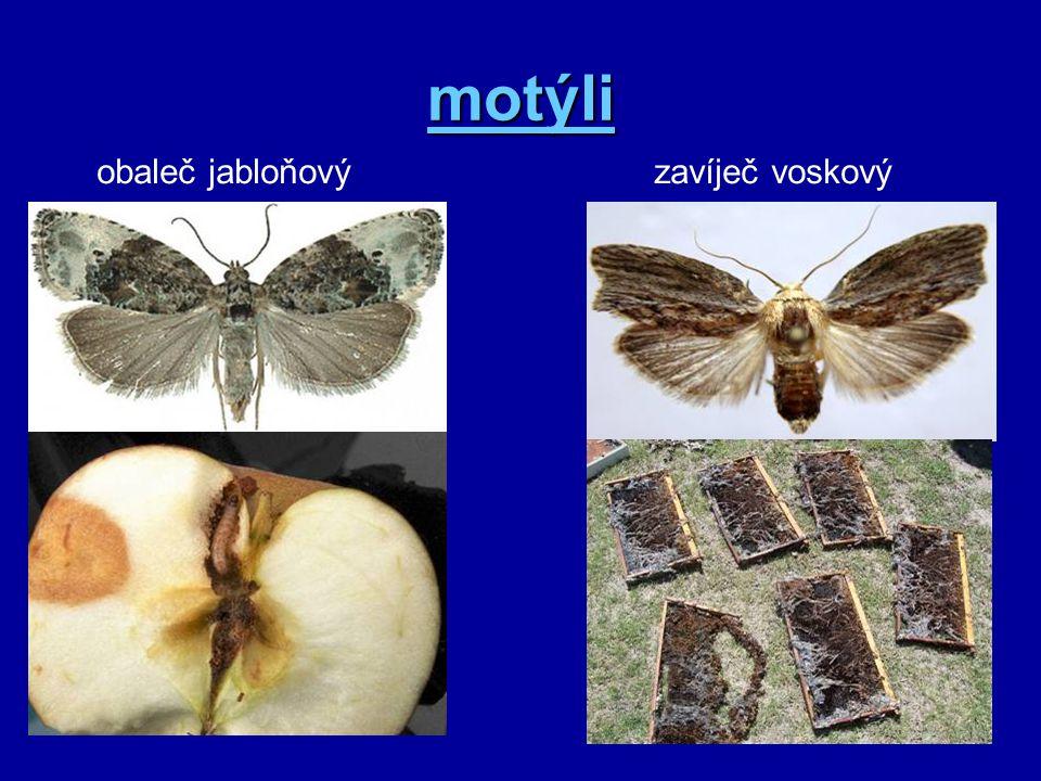 motýli obaleč jabloňový zavíječ voskový