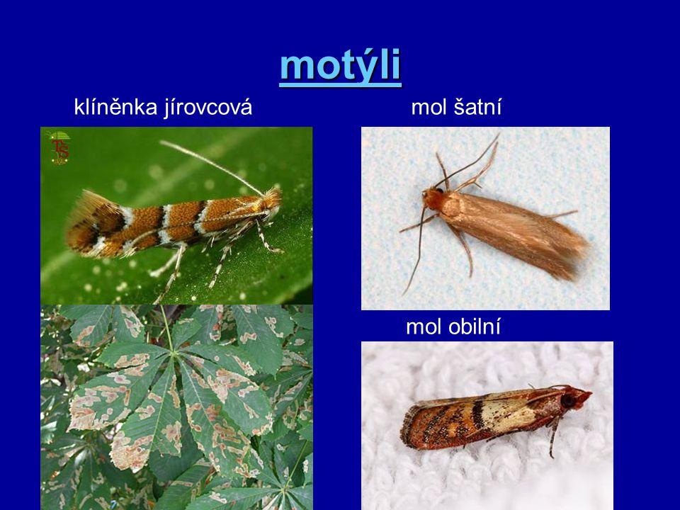 motýli klíněnka jírovcová mol šatní mol obilní