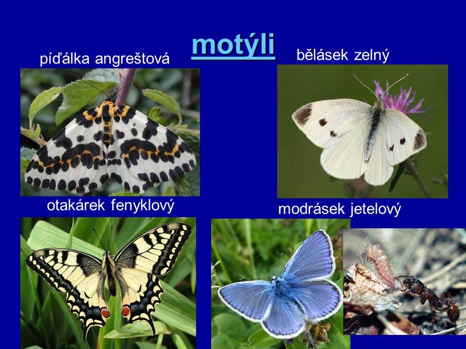 motýli bělásek zelný píďálka angreštová otakárek fenyklový