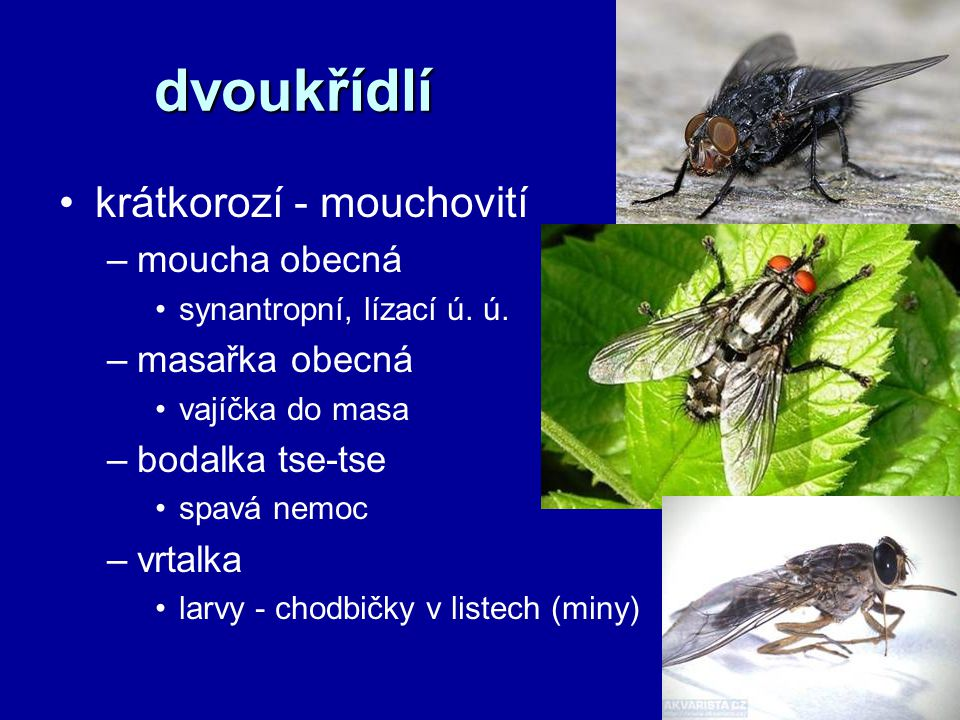 dvoukřídlí krátkorozí - mouchovití moucha obecná masařka obecná