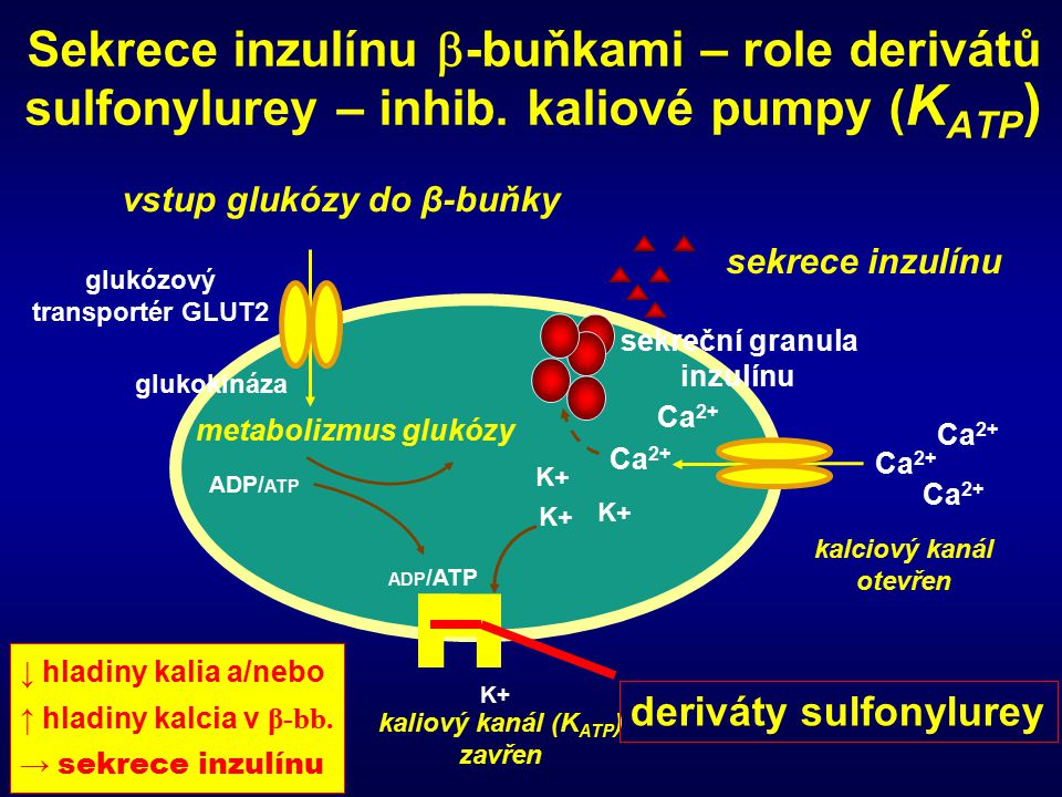 Sekrece inzulínu -buňkami – role derivátů sulfonylurey – inhib