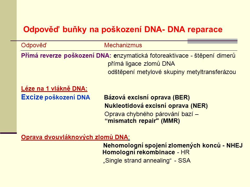 Odpověď buňky na poškození DNA- DNA reparace
