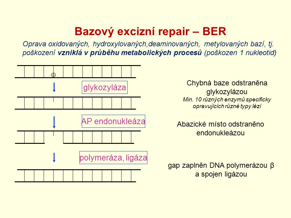 Bazový excizní repair – BER