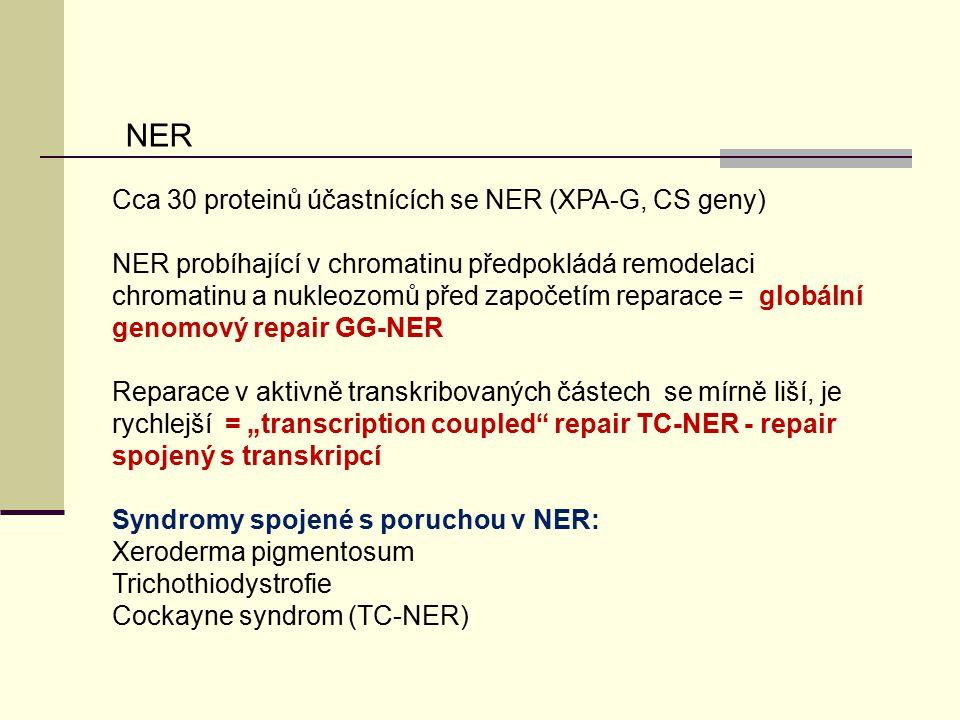 NER Cca 30 proteinů účastnících se NER (XPA-G, CS geny)