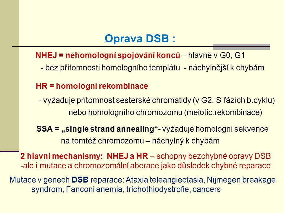 Oprava DSB : NHEJ = nehomologní spojování konců – hlavně v G0, G1