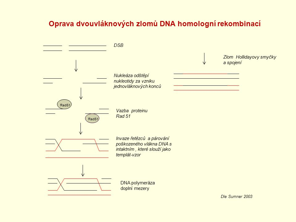 Oprava dvouvláknových zlomů DNA homologní rekombinací