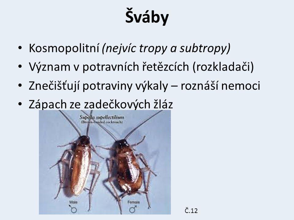 Šváby Kosmopolitní (nejvíc tropy a subtropy)