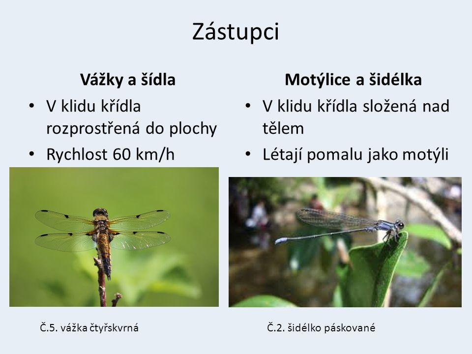 Zástupci Vážky a šídla V klidu křídla rozprostřená do plochy