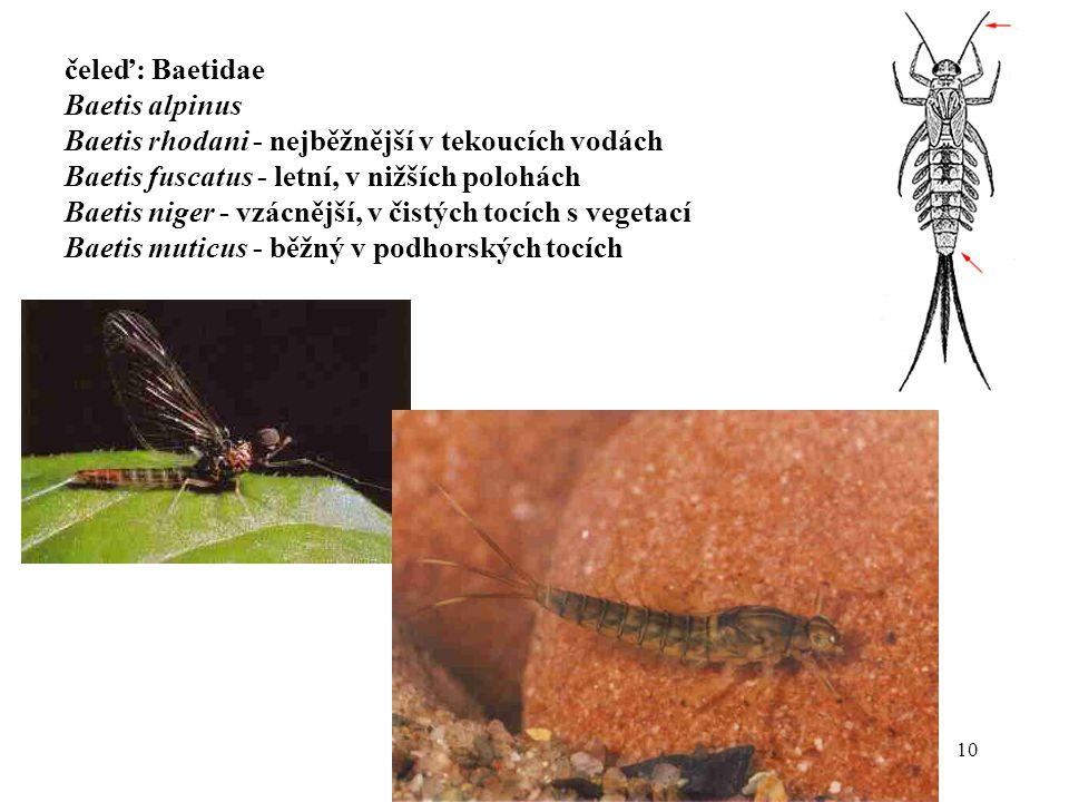 čeleď: Baetidae Baetis alpinus. Baetis rhodani - nejběžnější v tekoucích vodách. Baetis fuscatus - letní, v nižších polohách.