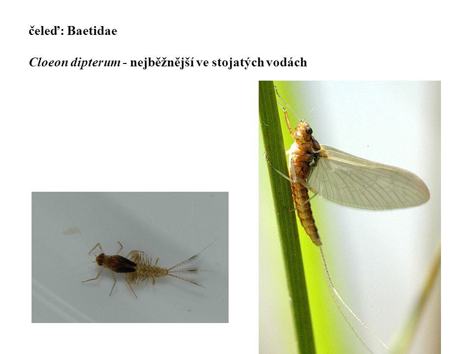 čeleď: Baetidae Cloeon dipterum - nejběžnější ve stojatých vodách