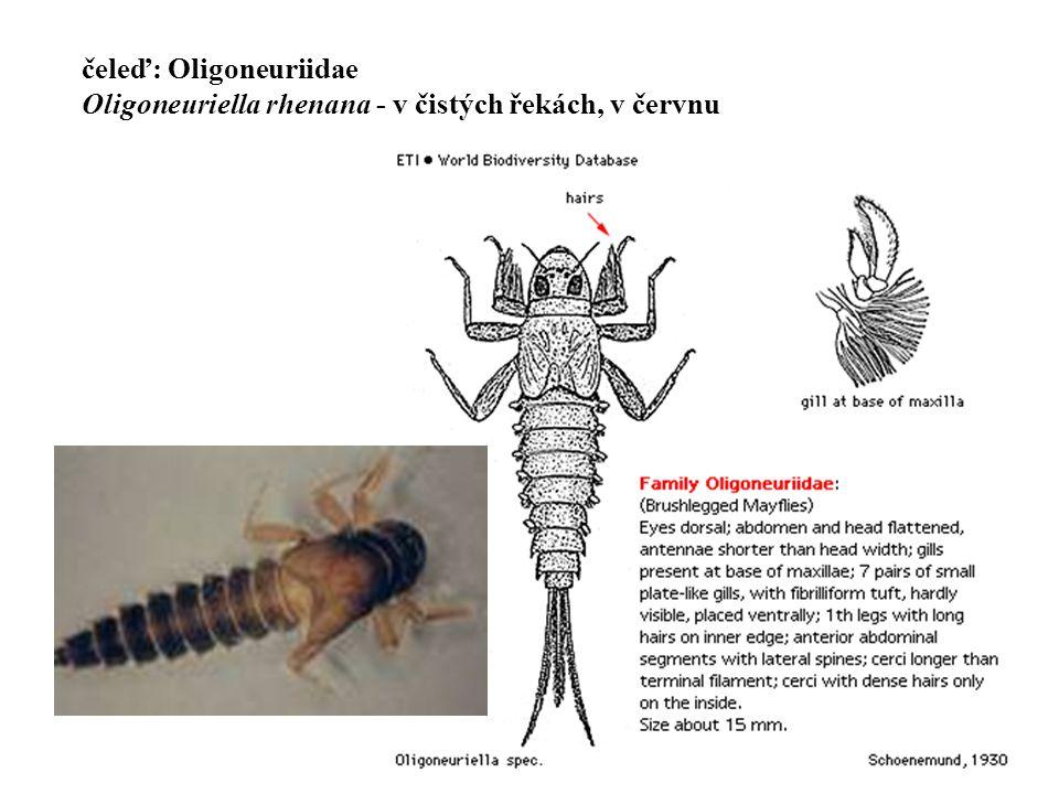 čeleď: Oligoneuriidae