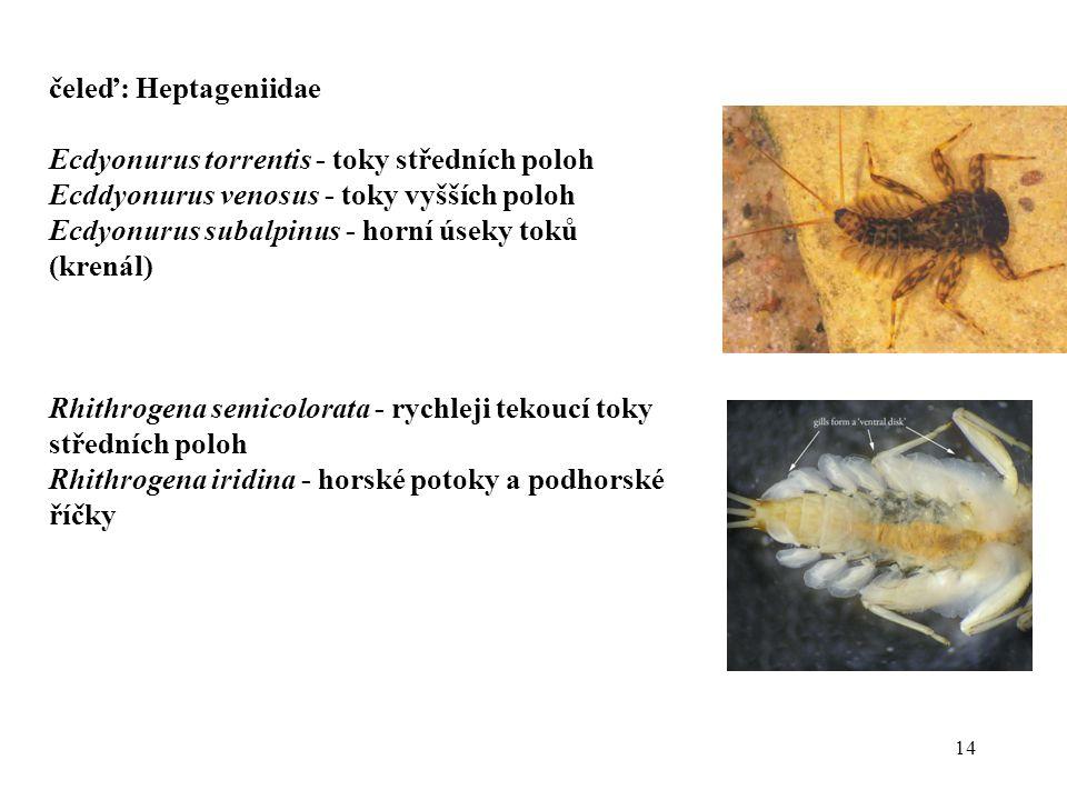 čeleď: Heptageniidae Ecdyonurus torrentis - toky středních poloh. Ecddyonurus venosus - toky vyšších poloh.