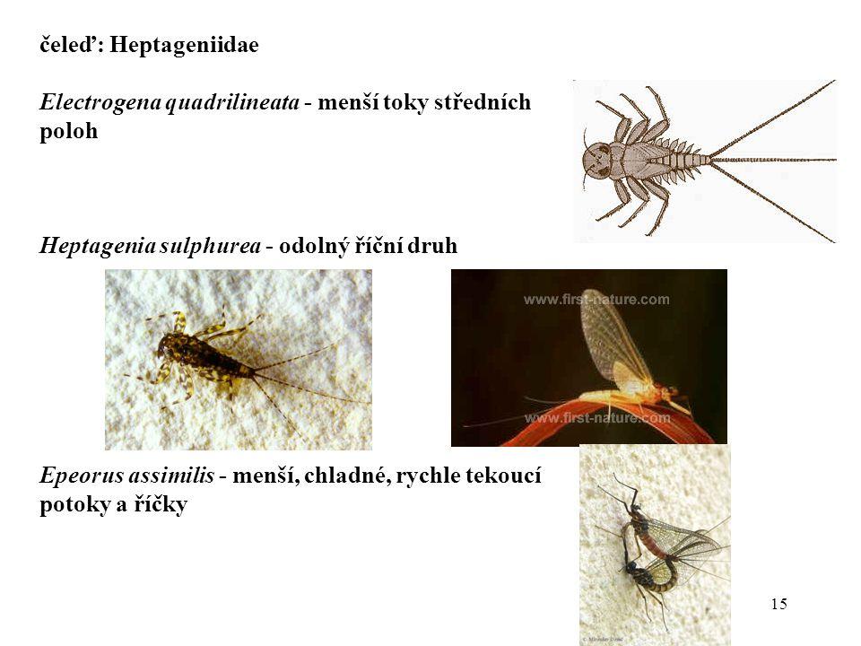 čeleď: Heptageniidae Electrogena quadrilineata - menší toky středních poloh. Heptagenia sulphurea - odolný říční druh.