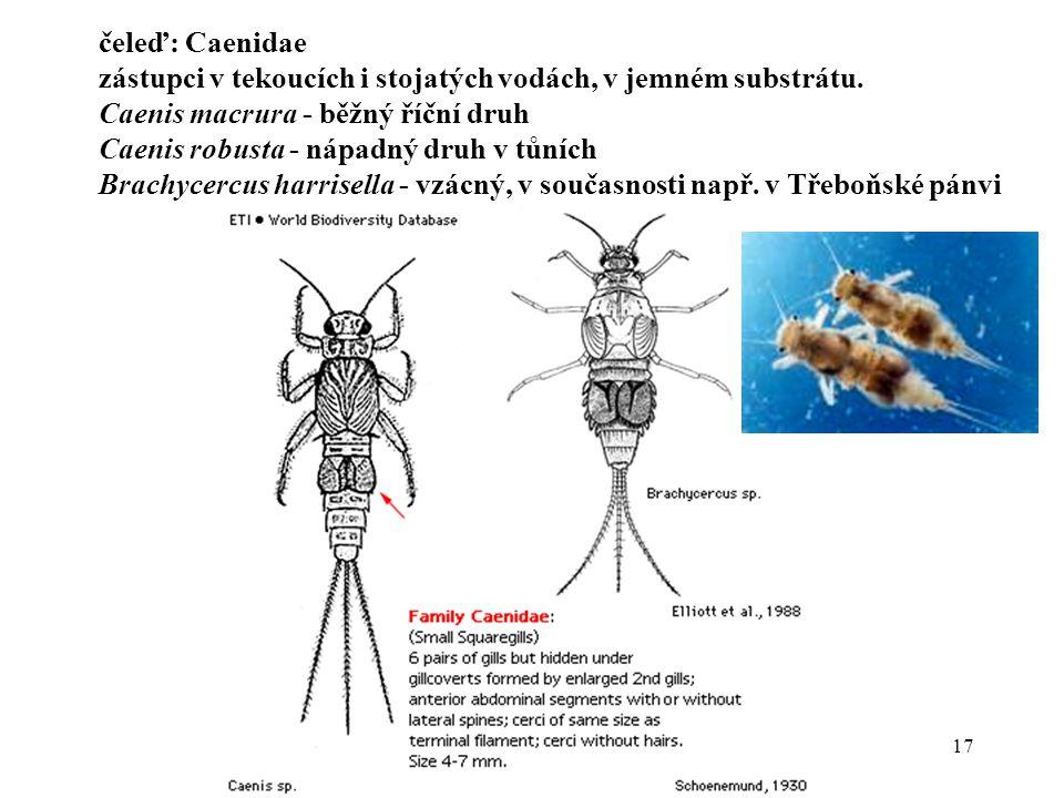 čeleď: Caenidae zástupci v tekoucích i stojatých vodách, v jemném substrátu. Caenis macrura - běžný říční druh.