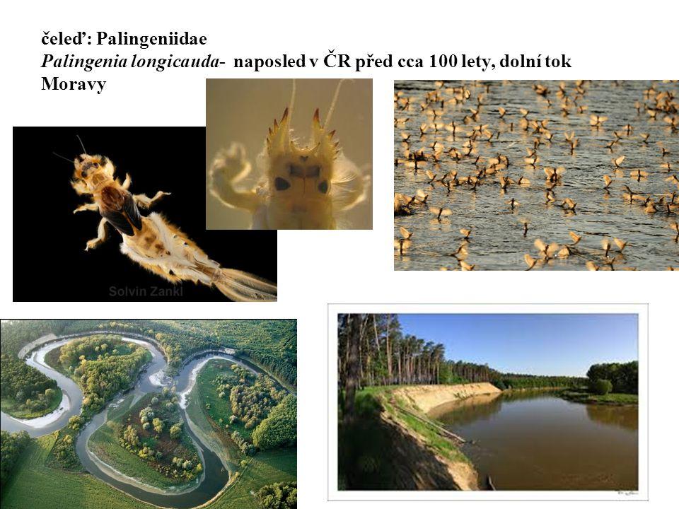 čeleď: Palingeniidae Palingenia longicauda- naposled v ČR před cca 100 lety, dolní tok Moravy