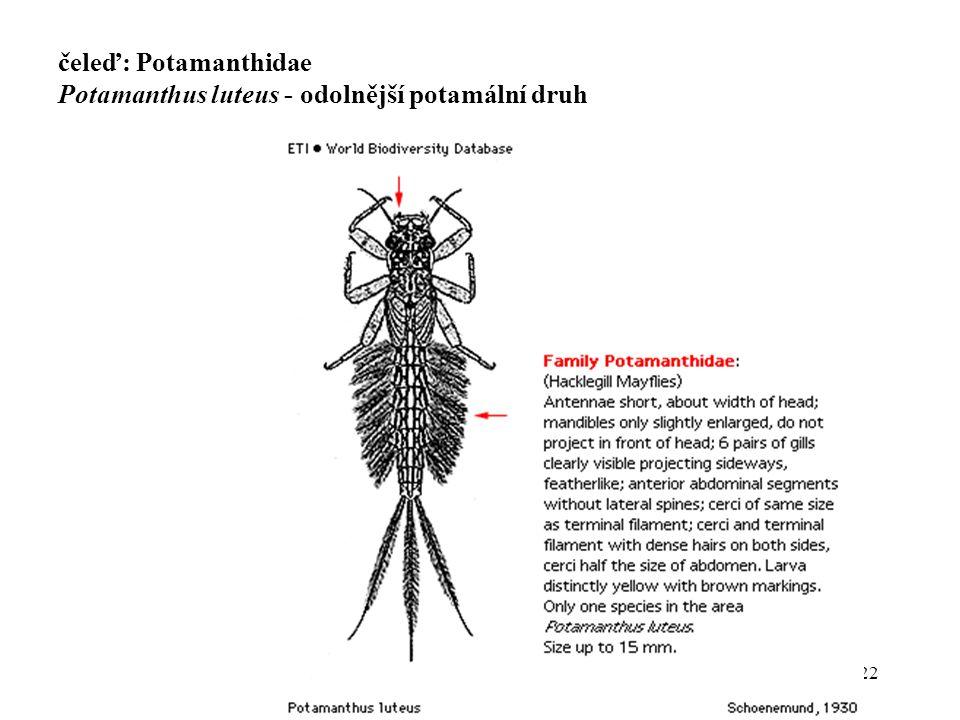 čeleď: Potamanthidae Potamanthus luteus - odolnější potamální druh