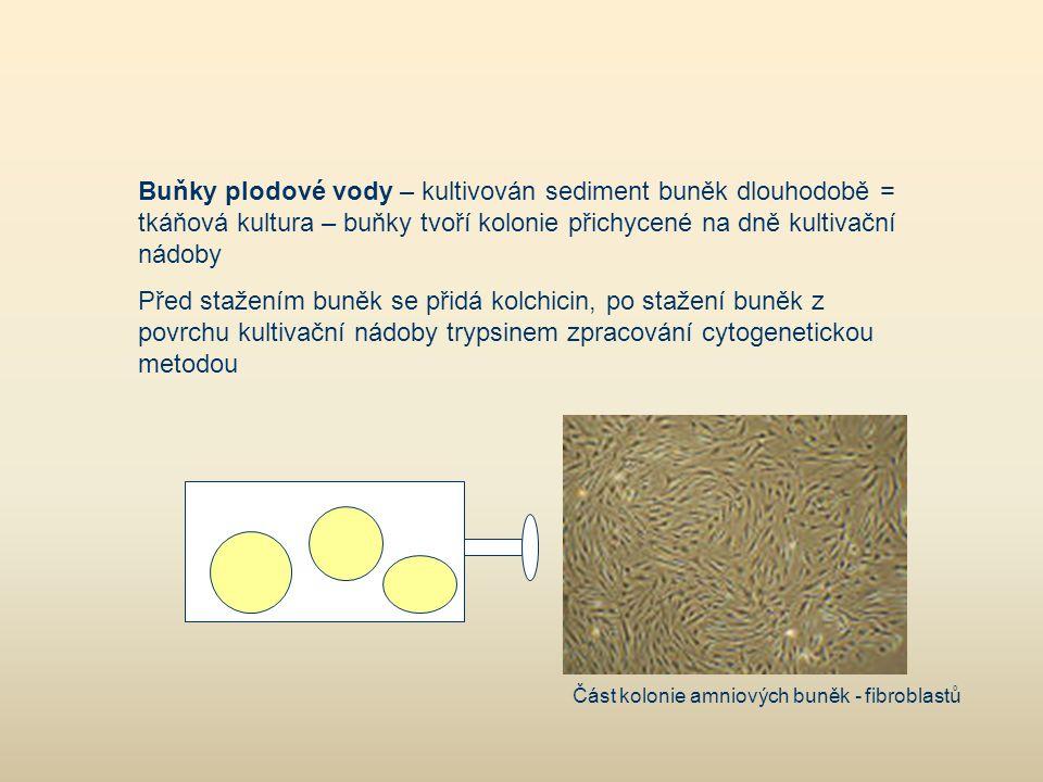 Buňky plodové vody – kultivován sediment buněk dlouhodobě = tkáňová kultura – buňky tvoří kolonie přichycené na dně kultivační nádoby