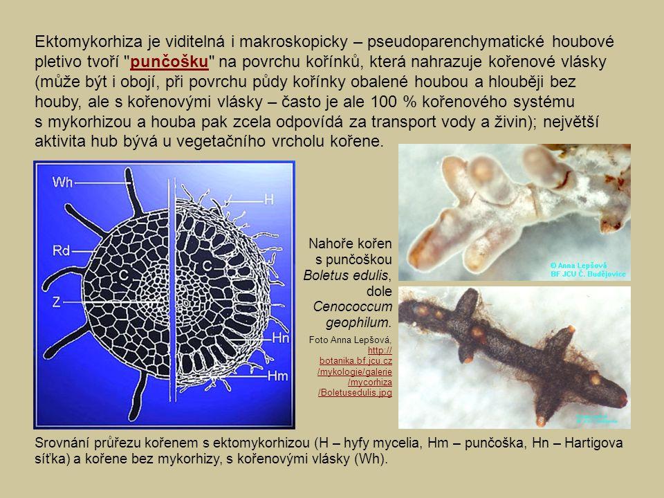 Ektomykorhiza je viditelná i makroskopicky – pseudoparenchymatické houbové pletivo tvoří punčošku na povrchu kořínků, která nahrazuje kořenové vlásky (může být i obojí, při povrchu půdy kořínky obalené houbou a hlouběji bez houby, ale s kořenovými vlásky – často je ale 100 % kořenového systému s mykorhizou a houba pak zcela odpovídá za transport vody a živin); největší aktivita hub bývá u vegetačního vrcholu kořene.