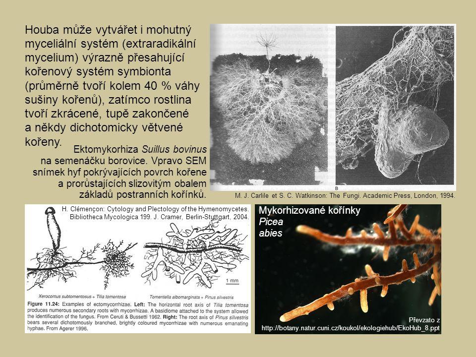 Houba může vytvářet i mohutný myceliální systém (extraradikální mycelium) výrazně přesahující kořenový systém symbionta (průměrně tvoří kolem 40 % váhy sušiny kořenů), zatímco rostlina tvoří zkrácené, tupě zakončené a někdy dichotomicky větvené kořeny.