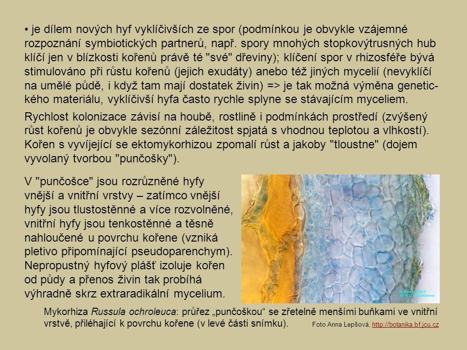 • je dílem nových hyf vyklíčivších ze spor (podmínkou je obvykle vzájemné rozpoznání symbiotických partnerů, např. spory mnohých stopkovýtrusných hub klíčí jen v blízkosti kořenů právě té své dřeviny); klíčení spor v rhizosféře bývá stimulováno při růstu kořenů (jejich exudáty) anebo též jiných mycelií (nevyklíčí na umělé půdě, i když tam mají dostatek živin) => je tak možná výměna genetic-kého materiálu, vyklíčivší hyfa často rychle splyne se stávajícím myceliem.
