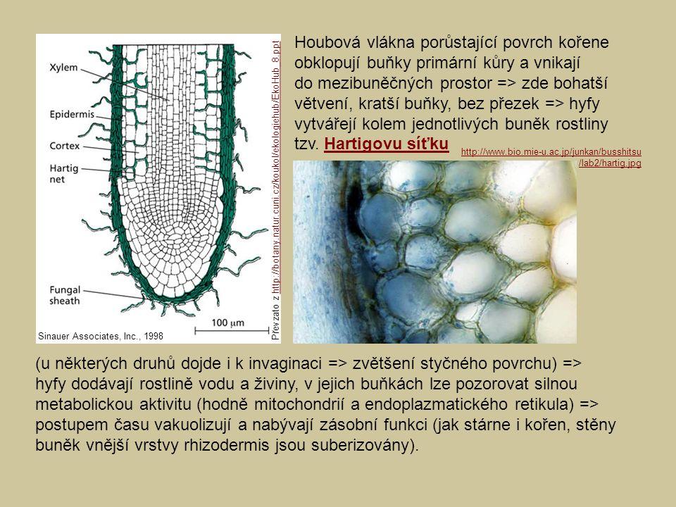 Houbová vlákna porůstající povrch kořene obklopují buňky primární kůry a vnikají do mezibuněčných prostor => zde bohatší větvení, kratší buňky, bez přezek => hyfy vytvářejí kolem jednotlivých buněk rostliny tzv. Hartigovu síťku