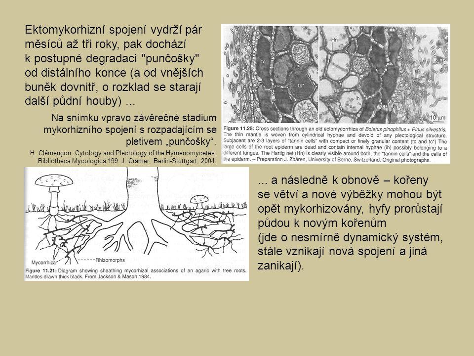 Ektomykorhizní spojení vydrží pár měsíců až tři roky, pak dochází k postupné degradaci punčošky od distálního konce (a od vnějších buněk dovnitř, o rozklad se starají další půdní houby) ...