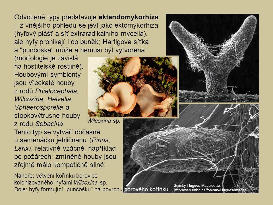 ale hyfy pronikají i do buněk; Hartigova síťka