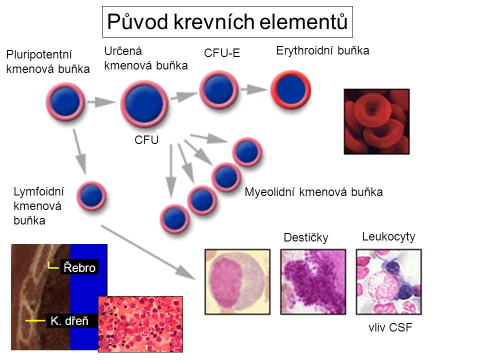 Původ krevních elementů