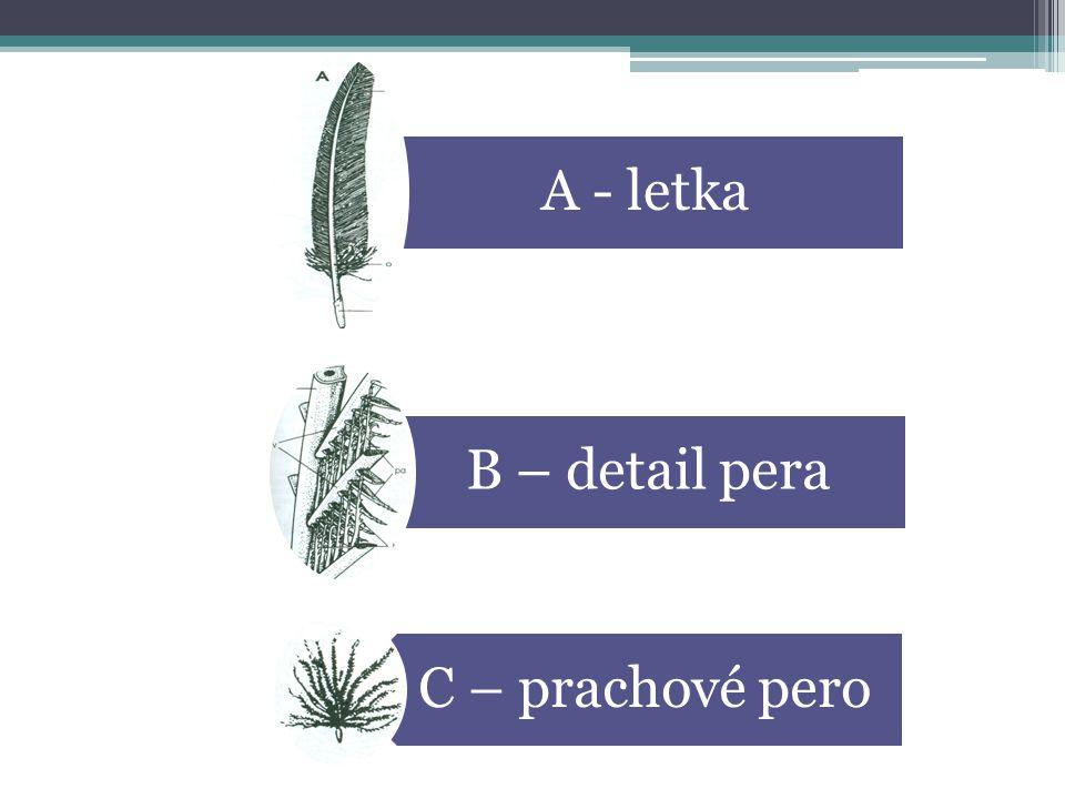 A - letka B – detail pera C – prachové pero