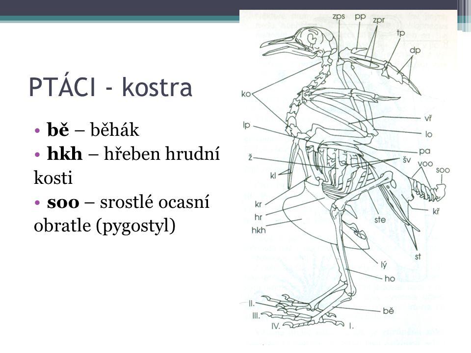 PTÁCI - kostra bě – běhák hkh – hřeben hrudní kosti