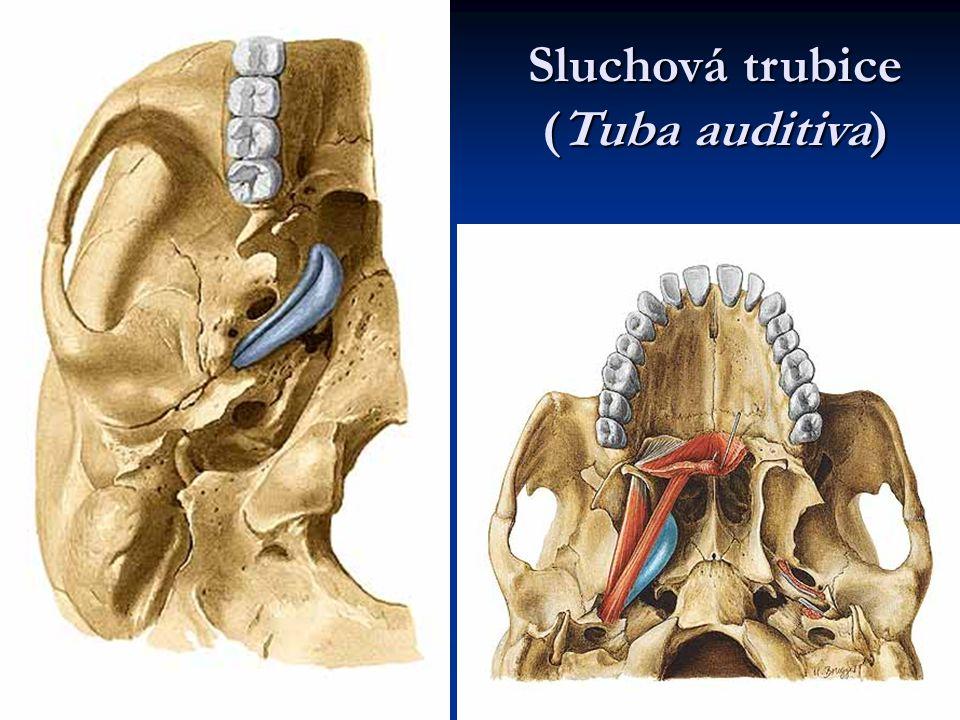 Sluchová trubice (Tuba auditiva)