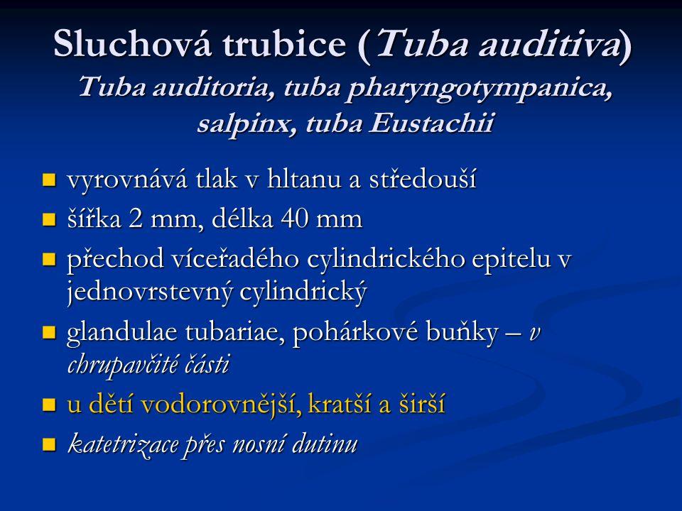 Sluchová trubice (Tuba auditiva) Tuba auditoria, tuba pharyngotympanica, salpinx, tuba Eustachii