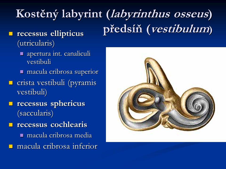 Kostěný labyrint (labyrinthus osseus) předsíň (vestibulum)