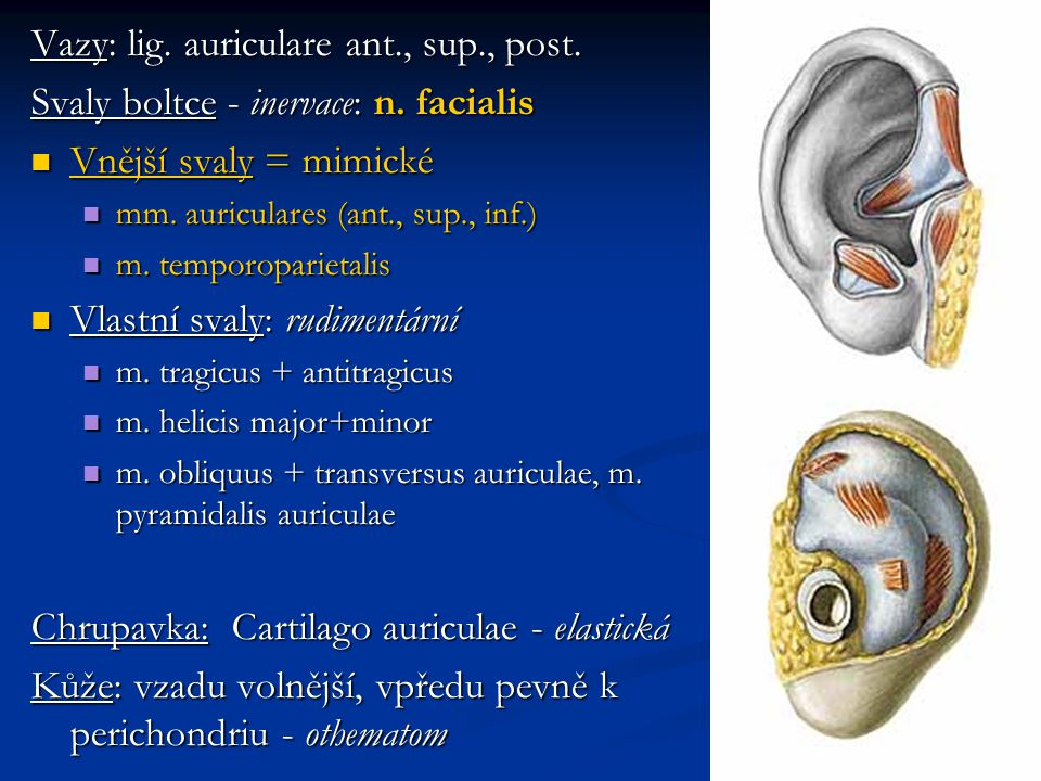 Vazy: lig. auriculare ant., sup., post.