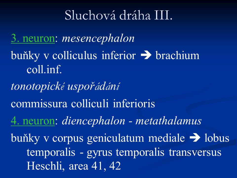 Sluchová dráha III. 3. neuron: mesencephalon