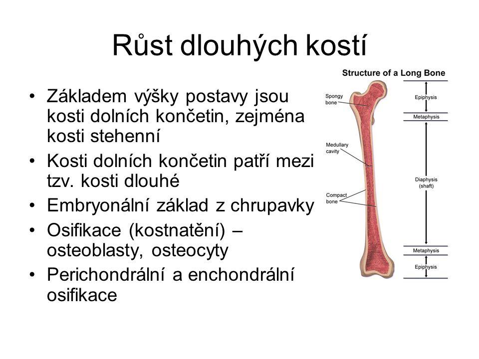 Růst dlouhých kostí Základem výšky postavy jsou kosti dolních končetin, zejména kosti stehenní. Kosti dolních končetin patří mezi tzv. kosti dlouhé.