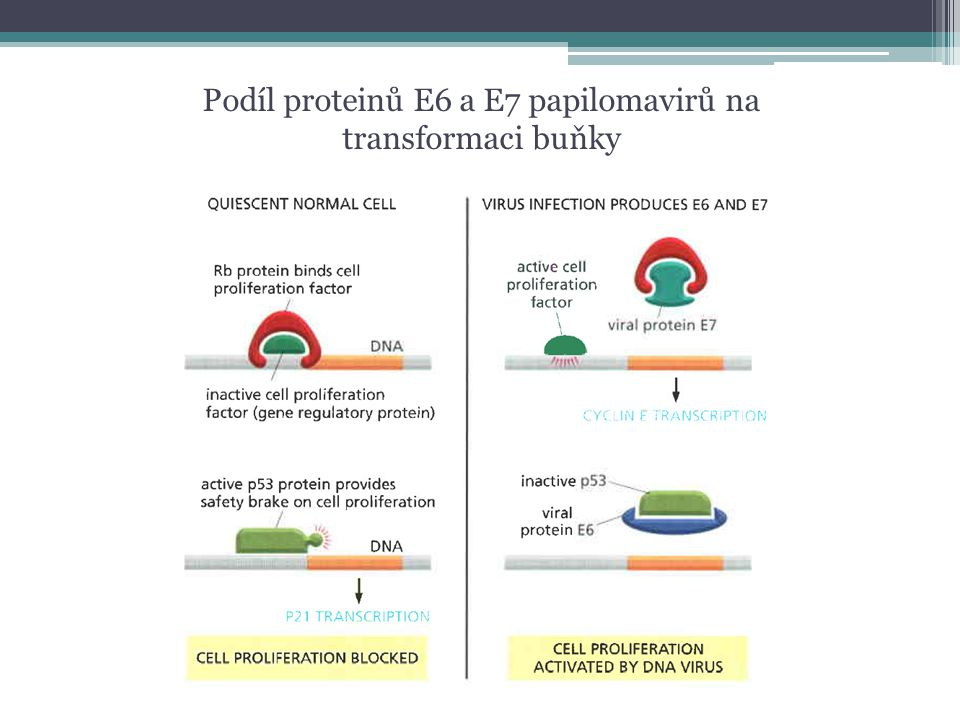 Podíl proteinů E6 a E7 papilomavirů na transformaci buňky