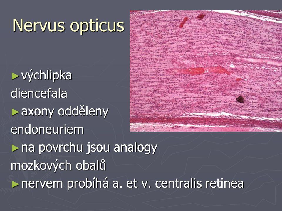 Nervus opticus výchlipka diencefala axony odděleny endoneuriem