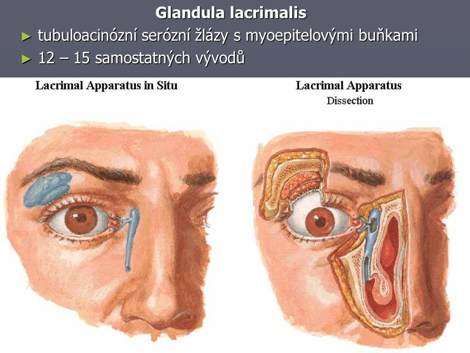 Glandula lacrimalis tubuloacinózní serózní žlázy s myoepitelovými buňkami.