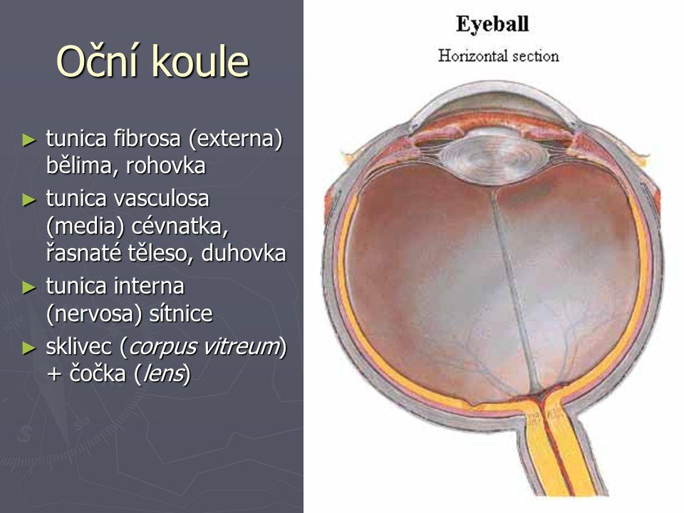 Oční koule tunica fibrosa (externa) bělima, rohovka