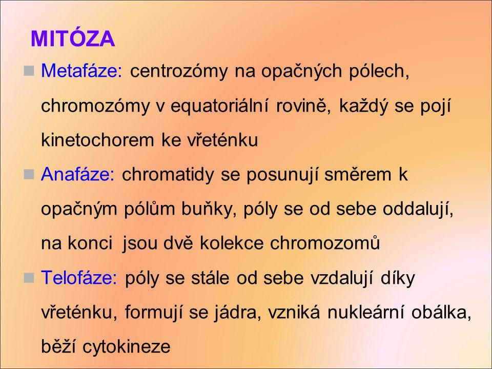 MITÓZA Metafáze: centrozómy na opačných pólech, chromozómy v equatoriální rovině, každý se pojí kinetochorem ke vřeténku.