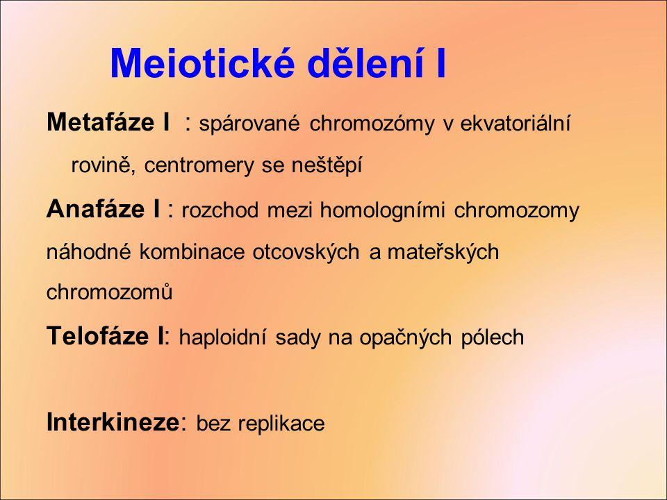 Meiotické dělení I Metafáze I : spárované chromozómy v ekvatoriální rovině, centromery se neštěpí.
