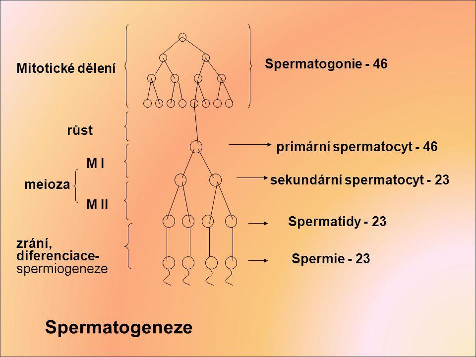 Spermatogeneze Spermatogonie - 46 Mitotické dělení růst