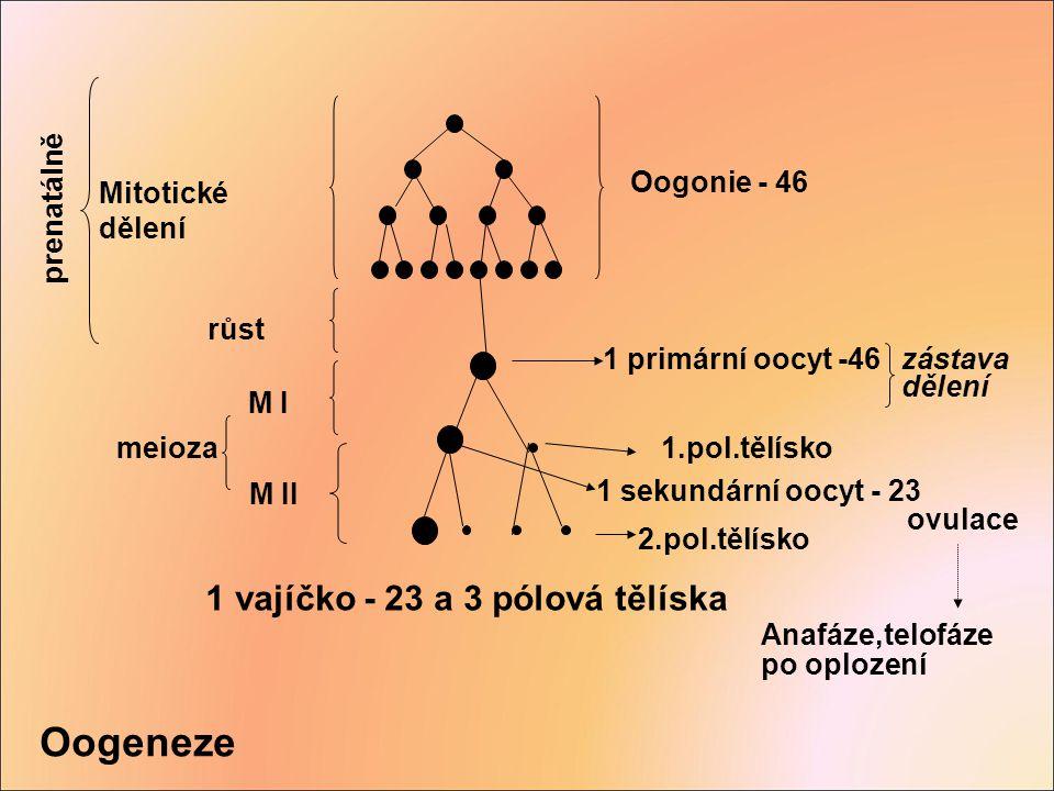 Oogeneze 1 vajíčko - 23 a 3 pólová tělíska Oogonie - 46