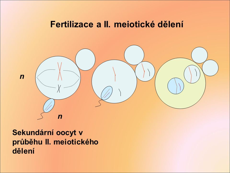 Fertilizace a II. meiotické dělení