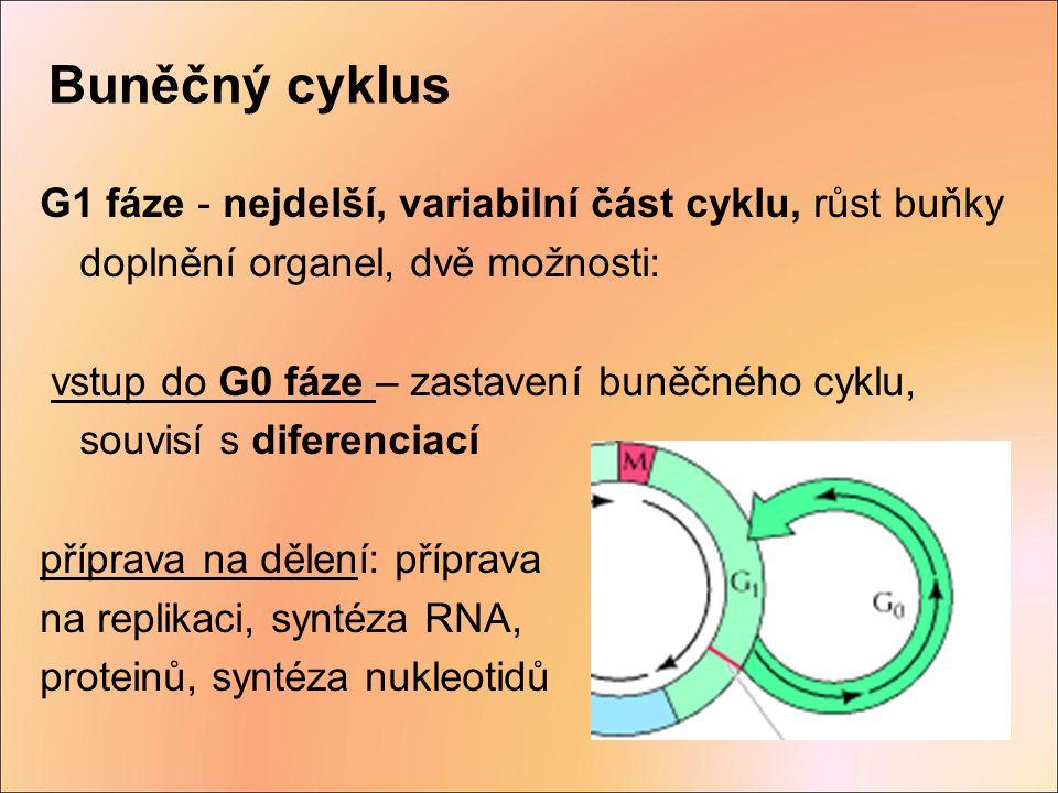 Buněčný cyklus G1 fáze - nejdelší, variabilní část cyklu, růst buňky doplnění organel, dvě možnosti:
